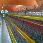 12 Desain Kandang Ayam Petelur dan Broiler Modern